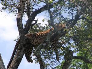 Leopard in seiner freien Wildbahn